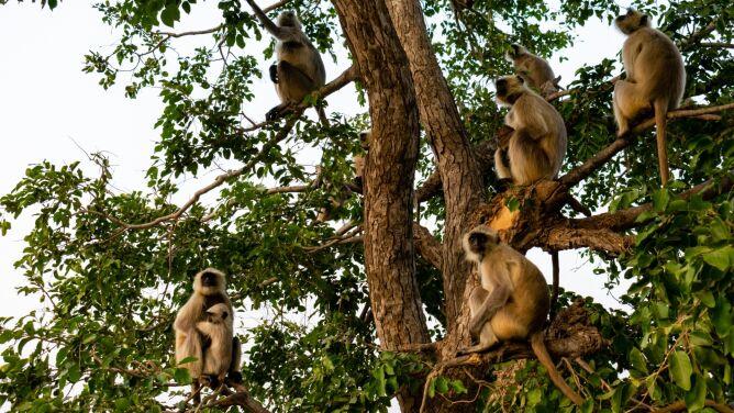 Małpy ukradły próbki z krwią chorych na COVID-19