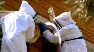 """Tysiące pszczół założyło gniazdo na dachu domu. """"Myślałam, że to gzyms"""""""