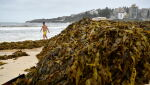 Wodorosty na australijskiej plaży (PAP/EPA/JOEL CARRETT)