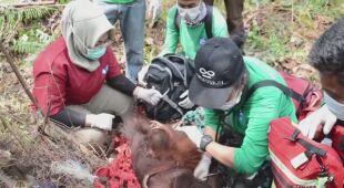 Ekolodzy uratowali orangutany